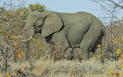 Bush Walking (philnewton928) Tags: elephant elephantbull africanelephant loxodontaafricana mammal animal animalplanet wild wildlife nature natural letaba kruger krugernationalpark africa southafrica outdoor outdoors safari nikon nikond7200 d7200 bushwalk