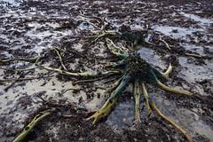 Alien terrain (bdrc) Tags: asdgraphy dead plant root shore pollution banting pantai kelanang sony a6000 ultrawide tokina 1116 sea water mud