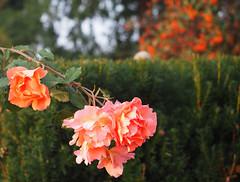 Osiedle-Trzy-Ogrody Wohnsiedlung 3 Garten Krakw (arjuna_zbycho) Tags: osiedletrzyogrody wohnsiedlung 3 garten krakw osiedlemieszkaniowetrzyogrody ogrdrany ulicamaciejadbskiego siedlung krlewskiemiastokrakw jesiennie 2016 krakau polska polen poland hauptstadt history herbst ra rose rosas roses re rosu rosae flower kwiat blume makrofoto macrophoto