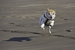 There's Life In The Old Girl Yet! (me'nthedogs) Tags: snaps terrier jackrussell jrt beach running