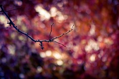 Autumn Splendor (miss.interpretations) Tags: autumn fall leaves bokeh plum magenta gold bare branches trees coloradosprings bearcreek colorado canonm3