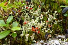 Becherumsumte Sulenflechte (ivlys) Tags: bayerischer wald bavarianforest finsterau filz becherumsumtesulenflechte cladoniaborealis flechte lichen selten rare nature ivlys