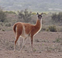 Guanaco (Gustavo Fernando Durn) Tags: lamaguanicoe lama guanicoe guanaco camelidae mamfero naturaleza nature parqueprovincialischigualasto san juan argentina amrica america panasoniclumixdmcfz1000 gimp