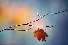 (Alin B.) Tags: alinbrotea autumn fall toamna dew drops wet rain rainy branch