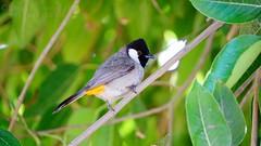 bulbul (Navas Peravoor) Tags: bulbul nature bird sonya6000