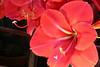 75-295-zweite%2520Serie%2520151-001 (hemingwayfoto) Tags: amaryllis blã¼te blã¼tenblatt blã¼tenstaub blã¼tenstempel blume blumen blumenhandel blumenzucht bunt flora gã¤rtner macroaufnahme natur pflanze rot topfblume topfpflanze zucht zwiebelblume zwiebelpflanze