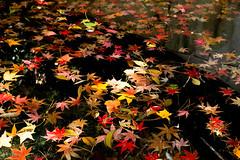 IMG_6708.JPG (David Chien 的相片集) Tags: autumn leaves red yellow orange 秋 紅 葉