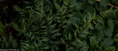 fern athyrium branford rambler, myyard, jdy193 XX201107126429.jpg (rachelgreenbelt) Tags: usa fern maryland northamerica greenbelt americas midatlantic pteridophyta princegeorgescounty athyrium divisionpteridophyta athyriaceae athyriales pteridopsida midatlanticregion classpteridopsida tracheophytes fernsandhorsetails athyriumbranfordrambler fernathyriumbranfordrambler hybridbetweenathyriumfelixfeminaathyriumniponicumpictum pteridopsidaclass pteridophytadivision athyriaceaefamily athyrialesorder athyriumgenus familyathyriaceae genusathyrium orderathyriales 450vascularplants