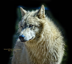 THE WOLF (Aspenbreeze) Tags: wild animal wolf wildlife wildanimal wolves whitewolf greywolf aspenbreeze moonandbackphotography bevzuerlein