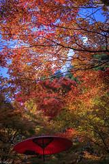Nodategasa (skycat1962) Tags: autumn autumnfoliage fall canon eos maple kyoto autumnleaves autumncolors    takao  redumbrella nodate ef85mm   5dmarkiii