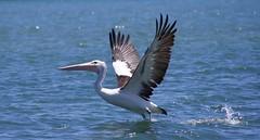Pelican Takes Flight 4 (ningi2013) Tags: bird pelican