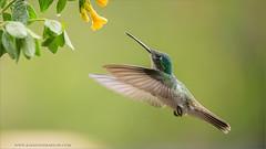 Andean Emerald (Raymond J Barlow) Tags: travel green ecuador hummingbird wildlife adventure workshop emerald andean raymondbarlowphototours