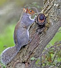 Tree Climbing in Gloucestershire (Dreamsmitten) Tags: red tree fur grey squirrel climbing treetrunk bark trunk treeclimbing greysquirrrel