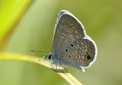 Ceraunus Blue (Hemiargus ceraunus) (celerycelery) Tags: usa macro nature america butterfly insect us florida wildlife butterflies lepidoptera usspecies