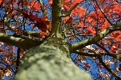 Original Red 2 (Jacco Vasseur Fotografie) Tags: autumn red tree netherlands beautiful nikon foto fotografie herfst n nederland zeeland boom jacco vasseur nikond5200 jaccovasseur