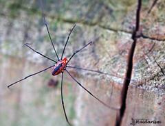 Spider عنكبوت (haidarism (Ahmed Alhaidari)) Tags: nature insect spider spiders insects حشرة طبيعة حشرات عنكبوت عناكب