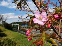 Prunus lannesiana cv. 'Kawazu-zakura' (S_Hosomi) Tags: flowers plants japan cherry tokyo blossoms  sakura february   prunus rosales  rosaceae 2015       23