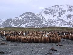 Penguin Chicks Huddling (D-Stanley) Tags: island penguin king chicks southgeorgia salisburyplain