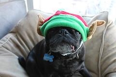 Ridley Elf (CarlosPacheco) Tags: dog cute dogs costume adorable pug elf pugs