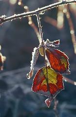 Der Winter friert die Farben ein, bis der Frhling neue nimmt. (Manuela Salzinger) Tags: morning winter ice forest sunrise leaf frost blatt eis wald sonnenaufgang morgen brombeere blackberrybush