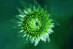 Day and night (Pensive glance) Tags: plant flower nature fleur plante ngc npc