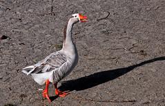 Klaxon en balade (Diegojack) Tags: oiseaux klaxon oies plages prverenges fabuleuse