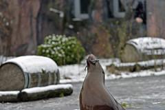 kalifornischer Seelwe (Michael Dring) Tags: zoo seal bismarck gelsenkirchen d800 kalifornischerseelwe zoomerlebniswelt michaeldring sp150600