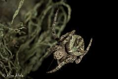 Araneus andrewsi - Immature (aliceinwl1) Tags: arachnid arachnida araneae araneidae araneomorphae araneus araneusandrewsi arthropod arthropoda burtonmesaecologicalreserve ca california entelegynes lompoc santabarbaracounty andrewsi locpublic orbweaver spider truespider viseveryone