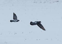 IMG_4553-1 Feral Pigeon (John Pohl2011) Tags: bird canon john 100400mm pohl perching t4i 100400mmlens canont4i