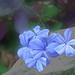Blue Plumbago (Jasmine}
