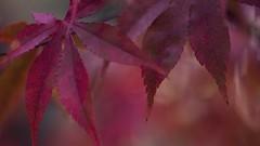Celebration of Nature ~ Joyful Maple II (Rita Crane Photography) Tags: autumn red orange macro fall nature leaves botanical maple bokeh burgundy fallcolors peach ritacranephotography wwwritacranestudiocom