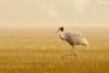 Sarus Crane in golden light (Poorna Kedar) Tags: life lighting morning wild mist cold bird nature fog golden early nikon photographer crane wildlife watching f4 sanctuary bharatpur kedar poona 600mm sarus d810 poornakedar