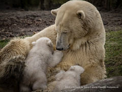 Newborn Polarbears (Thoran Pictures, Thx for more then 4 million views) Tags: bear baby beer animal photography zoo twins pentax polarbear newborn cubs ijsbeer k3 dierentuin ijsberen pentaxart sigma50500mm1463apodg madebythoranpictures theuseofanyoftheimagesinthissetwithoutpriorwrittenpermissionisprohibitedwiththeexceptionofpersonalusebytheindividualsportrayedtherein