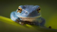 Hyla meridionalis, Blue. Explore 2015-03-01 (Ricardo Sanz Cortiella) Tags: blue azul hyla meridionalis
