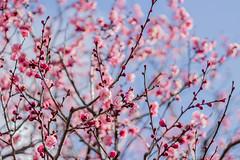 IMG_9601 (egocamera) Tags: japanese apricot prunus    mume