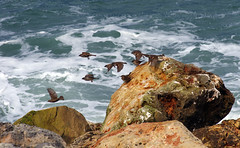 Sparrows in flight over rocks in a seaside in Jaffa Tel Aviv, Israel