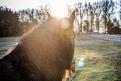 16 Degree Equus Ferus Caballus (horse) (hoovdaddy) Tags: horses horse sunrise us unitedstates equine equus unioncounty wesleychapel 2015 reallensflare horsesunrise brycehoover hoovdaddy editjockey 3clixpix r3v00h3cyr8