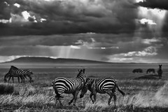 Zebra fight - Serengeti (Tanzania) (PaulHoo) Tags: africa bw sun nature clouds contrast d50 landscape tanzania fight movement nikon desert wildlife zebra nik dust serengeti 2008 lightroom silverefex