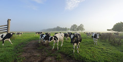 Foggy morning Brundee dairy pastures (sugarbellaleah) Tags: morning grass animal misty rural milk pretty cattle cows farm diary farming foggy meadow australia farmland pastures agriculture dairy southcoast jervisbay paddock illawarra brundee