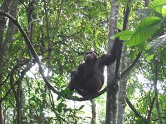 Chimp on a Vine