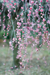 (mako_peko) Tags: nature canon spring bokeh 100mm ume  plumblossoms