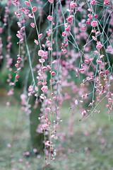 枝垂れ梅 (mako_peko) Tags: nature canon spring bokeh 100mm ume 梅 plumblossoms 春 和