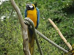 Zoo de la Flche - Ara (Noemie.C Photo) Tags: ara perroquet oiseaubird oiseau bird animal plumes bec jaune yellow blue bleu nature zoo branche tree arbre corde colorful colour color couleurs