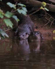 European Otter, Lutra lutra (4) (Geckoo76) Tags: otter lutralutra europeanotter