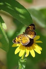 Garden Photos -- Small Butterfly on Rudbeckia (Crop and Rotate) (RaymondDukes) Tags: rudbeckia flower plant