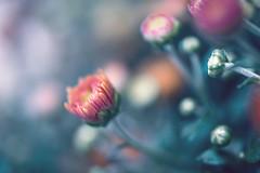 start-up (t1ggr) Tags: samsung nx30 mirrorless nature summer closeup dof macro pastel floral flower bud blossom garden