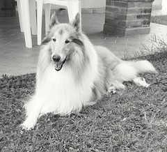 Lassie (veronicaalberghini) Tags: blackandwhite dog love sweet lassie asso roughcollie