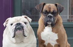 New brothers (dog ma) Tags: tank zeke newbrothers nikon d700 nikkor 50mm jodytrappephotography petportrait englishbulldog fawn boxer