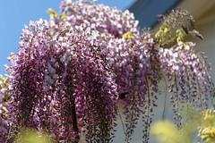 Lovely in Dusky Pink (Jocey K) Tags: newzealand christchurch flower spring wisteria