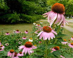 Good to be Home (joeldinda) Tags: tree street home mulliken michigan sidewalk 3176 july coneflower lawn flowers 1v2 nikon nikon1v2 2016 v2 17365